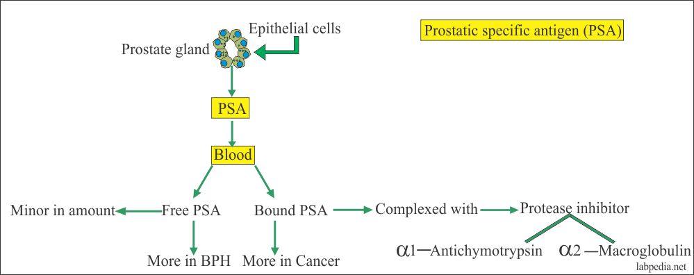 Prostatitis és antigén Hogyan kell inni a kaporot a prosztatitisből